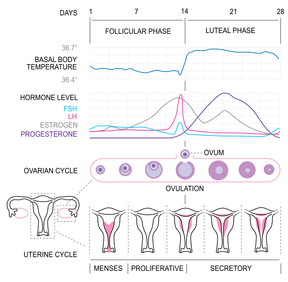 Menstrual cycle diagram